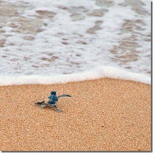 Детеныш черепахи движется к морю